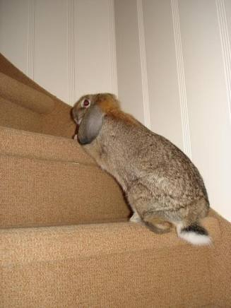 Rabbit Climbing Stairs